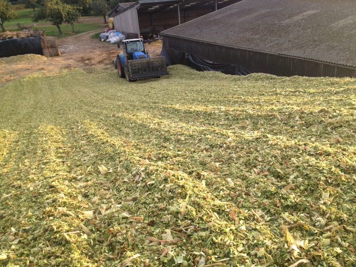 Maize silage 2013